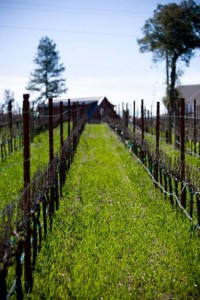 Arkenstone-Vineyards-Budbreak