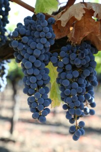 Grapes-Napa-Valley (17)