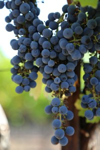 Grapes-Napa-Valley (19)
