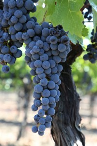 Grapes-Napa-Valley (3)