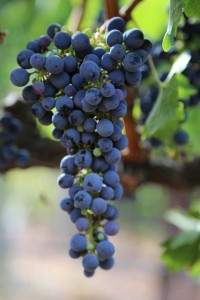 Napa-Grapes (3)