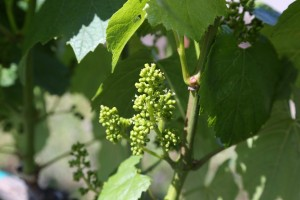 Napa-Valley-Grapevines (4)