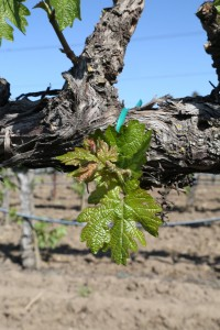 Napa-Young-Grapevines (10)