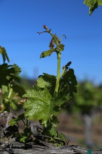 Napa-Young-Grapevines (13)