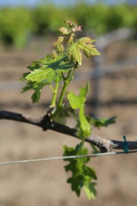 Napa-Young-Grapevines (15)