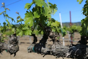 Napa-Young-Grapevines (16)