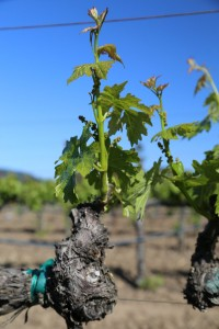 Napa-Young-Grapevines (17)