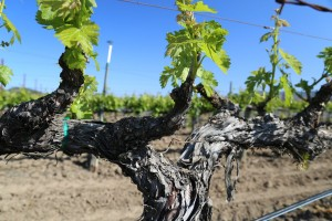 Napa-Young-Grapevines (2)