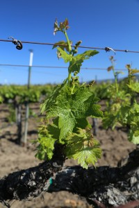 Napa-Young-Grapevines (4)