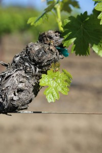 Napa-Young-Grapevines (6)