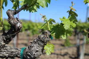 Napa-Young-Grapevines (7)