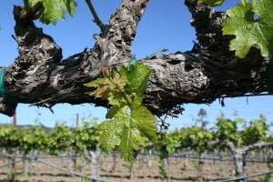 Napa-Young-Grapevines (9)