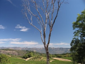 Pride-Vineyards-Dead-Tree