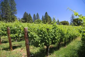 Red-Cap-Vineyards (2)