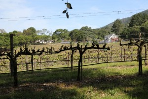 Silver-Stag-Vineyard (1)