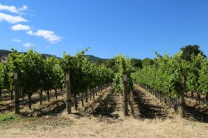 Tournesol-Vineyard (1)