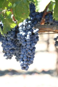 Tuck-Beckstoffer-Napa-Grapes