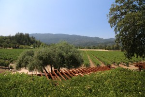 Venge-Vineyards (4)