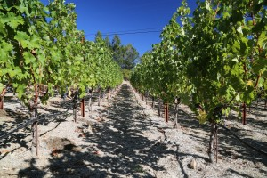 Vineyard-7-8-Spring-Mountain (15)
