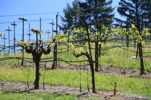 Wicker-Vineyard (1)