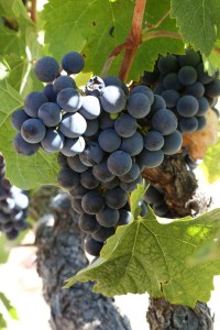 grapes-napa (2)