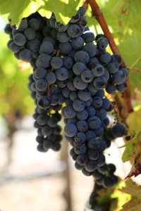 napa-grapes (2)