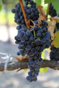 napa-grapes (38)