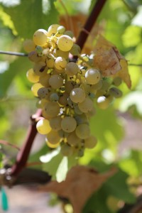 white-grapes-napa
