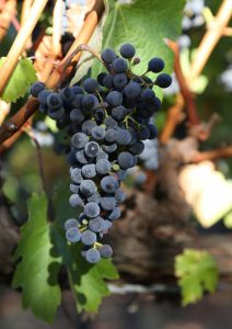 Trotter-Wines-1-16th-Harvest-Coombsville (8)