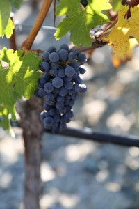 grapes-napava
