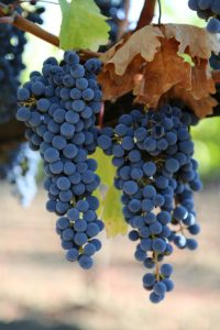 Grapes-Napa-Valley (18)