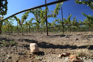 Beckstoffer-Bourn-Vineyard (1)