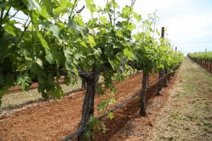 Cresta-Velia-Eagle-Summit-Vineyard (4)