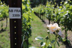 Allora-Vineyards (6)