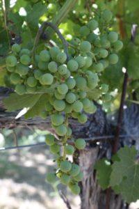 Andrew-Geoffrey-Vineyards (6)