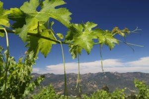 Andrew-Geoffrey-Vineyards (8)