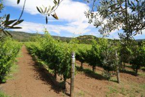Ardente-Winery-Vineyard
