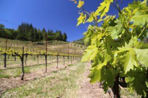 Cimarossa-Vineyard (3)
