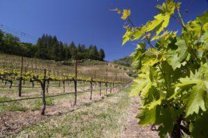 Cimarossa-Vineyard (4)