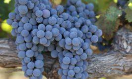 Napa's Wild Wines