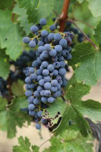 Ehlers-Winegrapes
