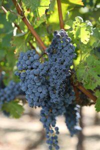 Gamble-Family-Vineyards (4)