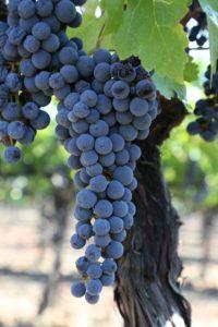 Grapes-Napa-Valley (3)