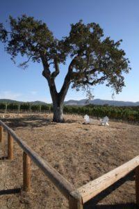 Meteor-Vineyard-Oak-Tree
