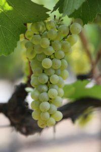 Napa-Grapes (14)
