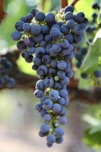 Napa-Grapes (7)