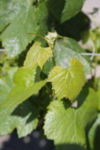 Napa-Valley-Grapevines (1)
