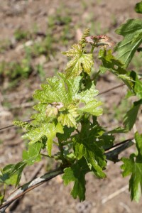 Napa-Valley-Grapevines (2)