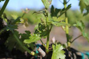 Napa-Young-Grapevines (14)