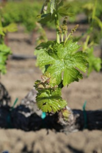 Napa-Young-Grapevines (5)